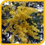 produzione_alberi_mimosa