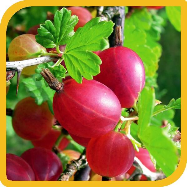 Piante da frutto vivai piante cai moreno pistoia for Vivai piante da frutto